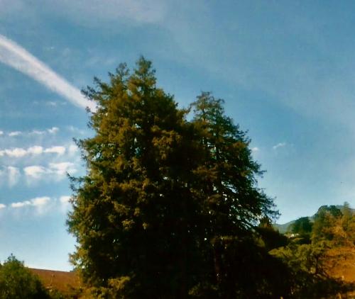 Redwood Clouds