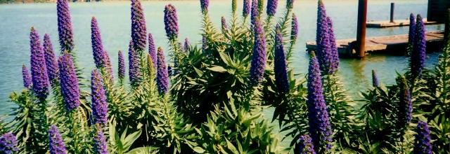 Lavender salvia