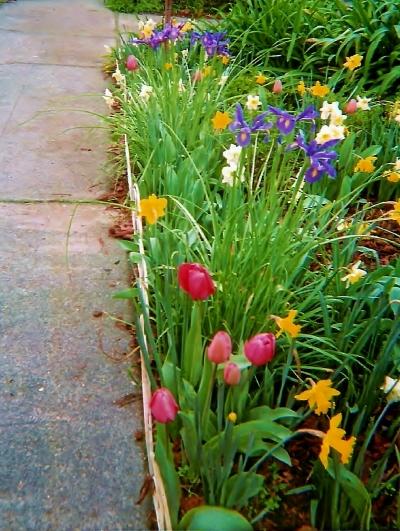 tulip bulb flowers